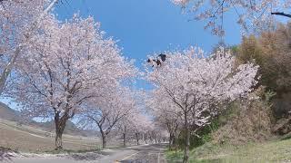 보령 주산 벚꽃길7