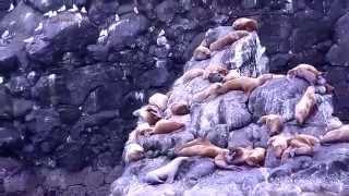 Steller Sea Lion - Steller Sea Lion in Alaska