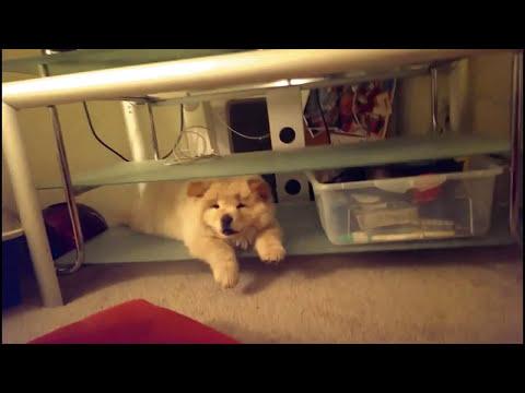 Chow Chow & Pomeranian