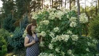 Гортензии в саду. Гортензия метельчатая