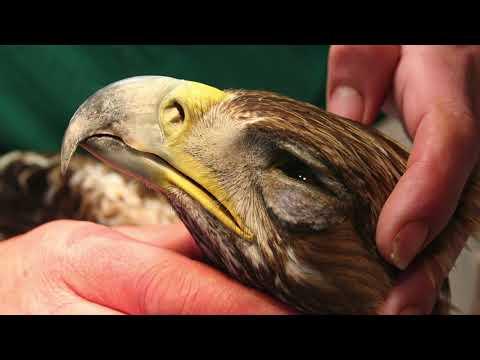 El Águila que creía ser gallina 🦅 [🐓]