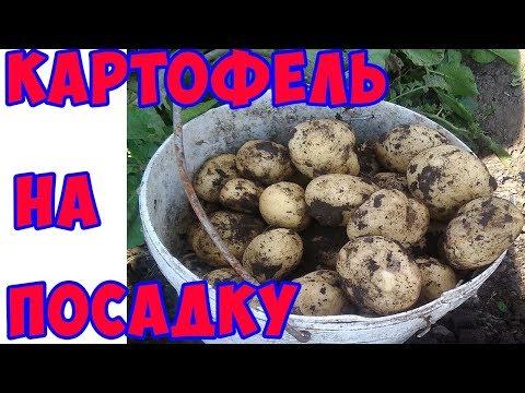 Вопрос: Сорт картофеля Тулеевский shy фото, описание, какие отзывы?