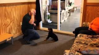 Quantum Von Prufen Rottweiler Puppy Obedience