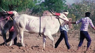 Powerful Narendra bulls running in Gowdageri race