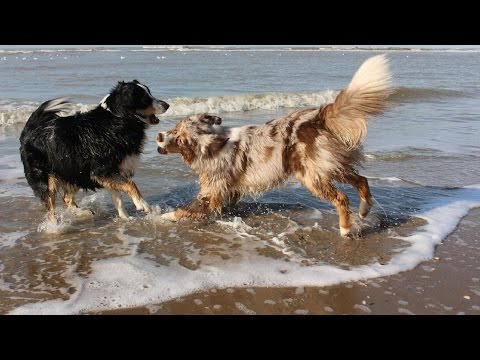 Summer 2016 | Australian Shepherds