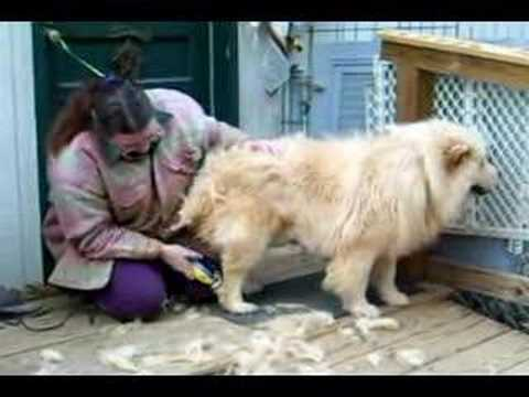 Max The Chow Gets A Shave Youtube