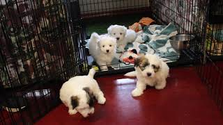 Coton Puppies For Sale - Isha 11/21/19