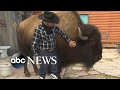 Family lives with a Bison called 'Wild Thing' inside their house