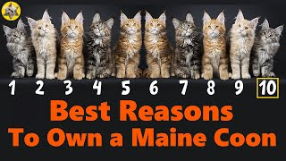 Why do people buy Maine Coon cats? 10 Best Reasons To Own A Maine Coon