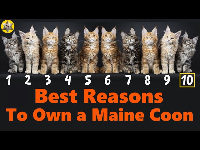 10 Best Reasons To Own a Maine Coon