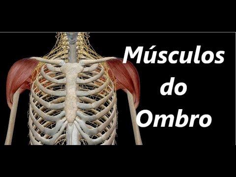 Anatomia Dos Músculos Do Ombro Em 3d