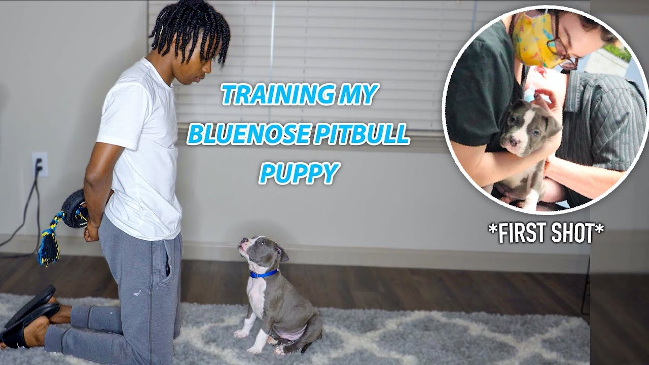MY BLUENOSE PUPPY GOT HIS FIRST SHOT! | Training A Blue Nose (Sit, Down, Come, Stay, and Leave it)