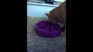 My cats 1st time with slow feeder