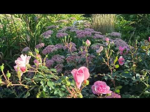 Садовый ВЛОГ:  цветник в сентябре,  МОЛОДОЙ ГАЗОН и урожай яблок.
