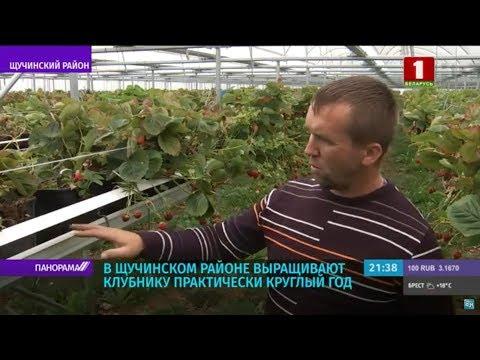 Выращивание клубники в Беларуси. Преимущества ягодного бизнеса. Панорама
