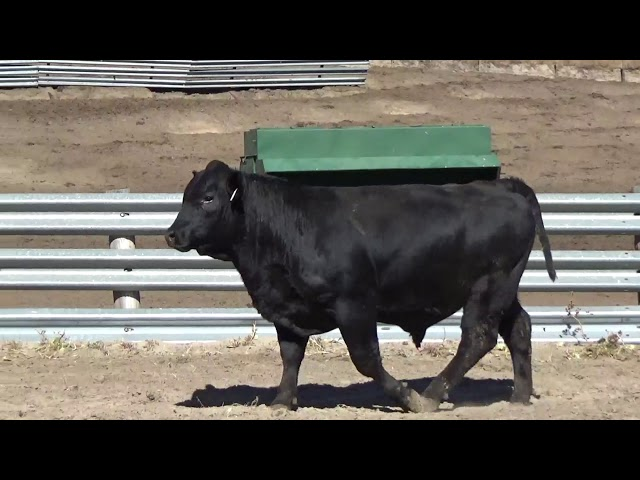 Connealy Angus Lot 130