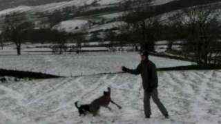 Weimaraner And Collie Play In North Yorkshire Moors Snow With Frisby