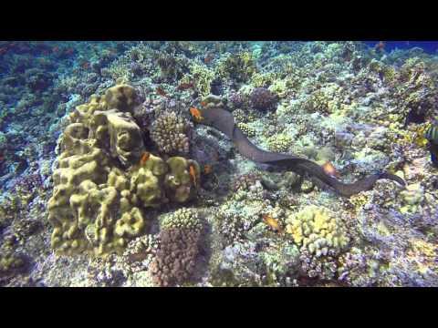 Elphinstone Reef Giant Eel roaming about.