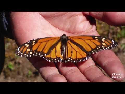 Monarchs in Mexico