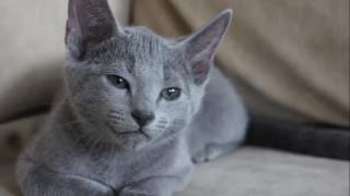 Russian Blue History,Personality,Health,Care