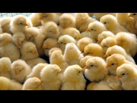 चूजे का सही RATE | मुर्गा फार्म से ज्यादा कैसे कमाए ? [ 89 ]