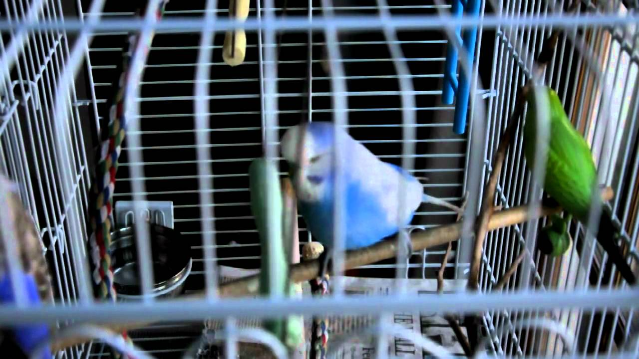 how to make your budgie talk