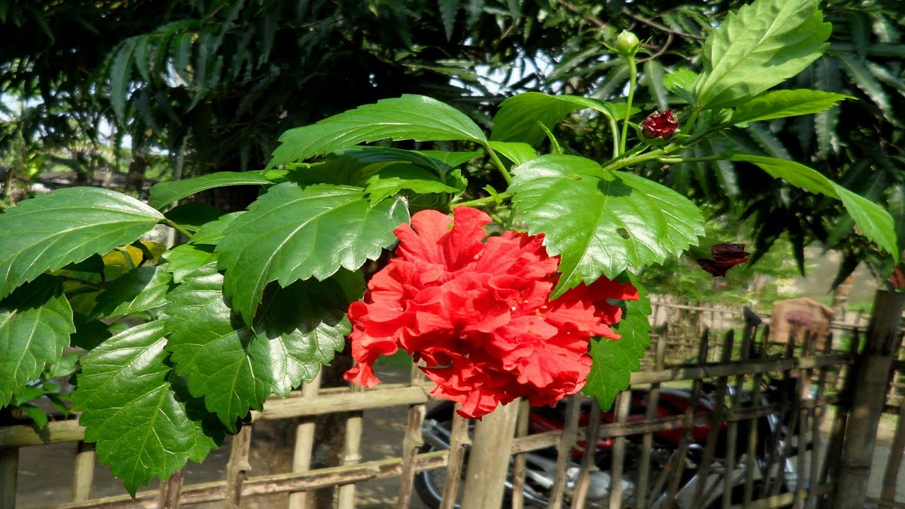 english name of gurhal flower » Flowers Online 2018   Flowers Online
