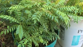 grow care curry leaf plant tips by bhavna