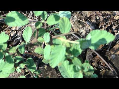 Diabetes Herbs. 335C. Waltheria indica © Pankaj Oudhia