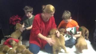 Dogue De Bordeaux Christmas Puppies