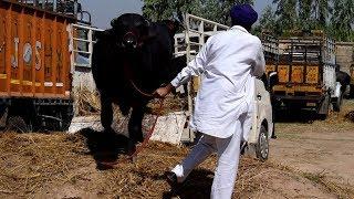 Unloading of Murrah buffalo at Kurali Mandi Punjab