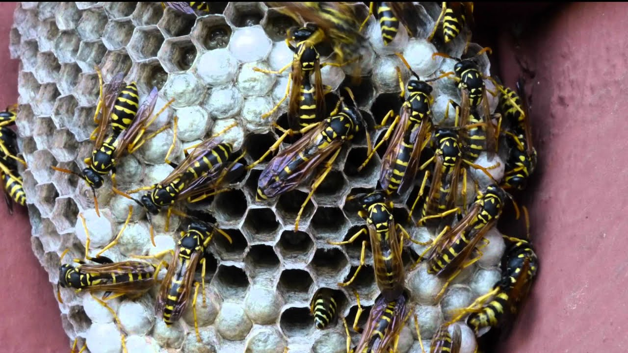 Yellow jackets ground hornets - Paper Wasps Making A Nest Watch Pupa Grow And Spin Cocoon Hd Time Lapse Youtube