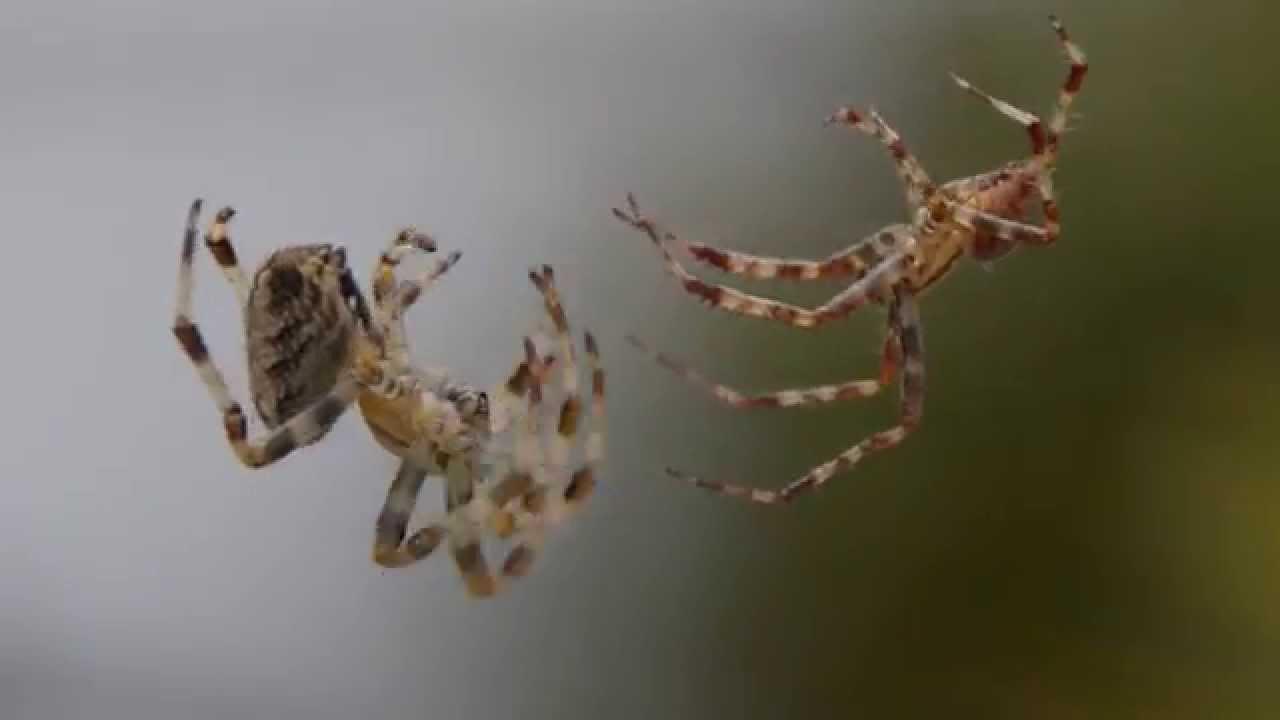 common garden spider araneus diadematus mating - Common Garden Spider