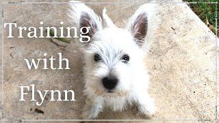 Westie Puppy Obedience Training