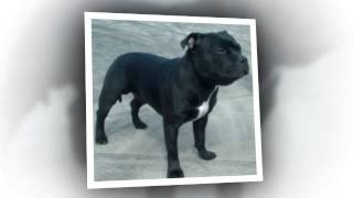 Are Staffordshire Bull Terriers Dangerous?