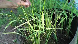 Lessons Learned Planting Wild Rice