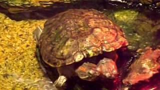 韓国の水族館「アクアリウム」で見た双頭の亀 thumbnail
