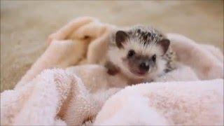 Video Hazel the Hedgehog's First Bath download MP3, 3GP, MP4, WEBM, AVI, FLV Juni 2018