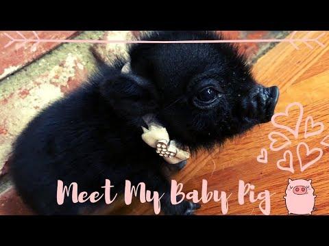 MEET MY BABY TEACUP PIG!