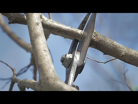 How to Prune a Crape Myrtle - A Step by Step Guide