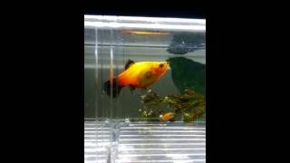 Orange platy giving birth to 40plus fish fries
