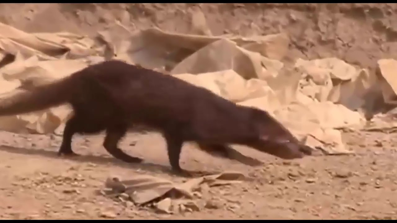Download King Cobra Big Battle In The Desert Mongoose and the unexpected | Most Amazing Attack of Animals