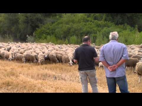 satilik merinos sakiz koyunu  kuzu fiyatlari hazer emlak tel 0546 851 6657