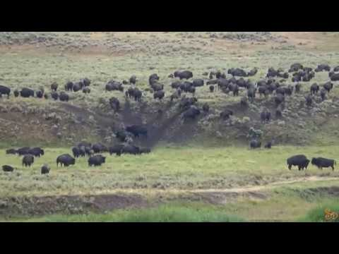 100s of bison fleeing Yellowstone, crossing valleys | HD | 2017
