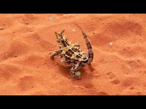 AUSTRALIA  - Thorn the Thorny Devil - stutter walk 201004