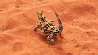 AUSTRALIA  - Thorn the Thorny Devil - stutter walk 201004