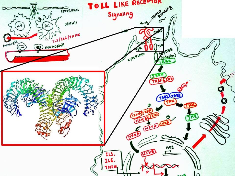 Toll like receptor signaling - YouTube