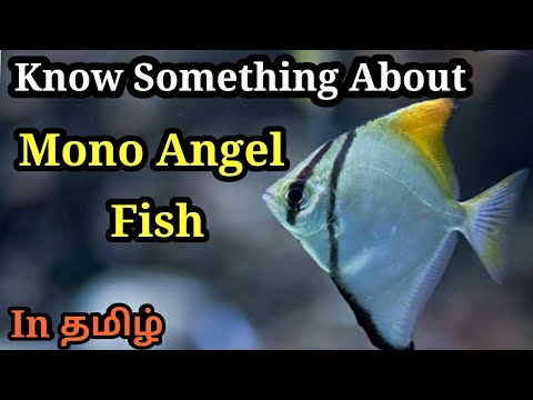 Know About Mono Angel Fish In தமிழ் |