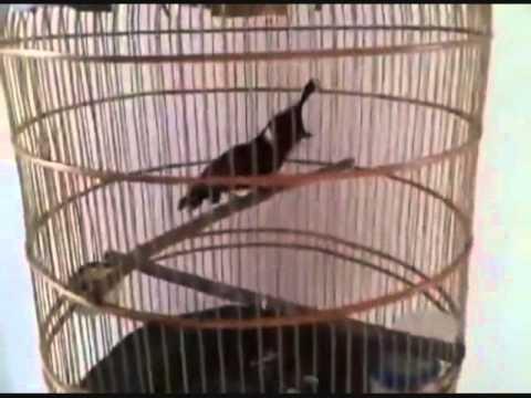 Burung Cililin nembak khusus untuk master