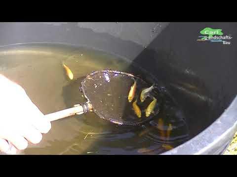 Nie Mehr Fischreiher Im Koiteich Doovi